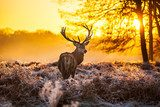 Red deer in morning sun  Las Fototapeta
