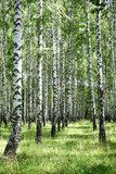 July view of sunny birch grove  Las Fototapeta