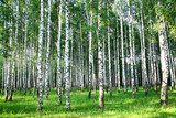 Beautiful summer birch grove in the evening sunlight  Las Fototapeta