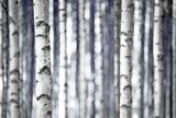 Birch trees  in blue  Las Fototapeta