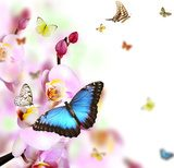 Butterflies on blossoms of orchid, isolated on white background  Motyle Fototapeta