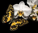 White orchid and butterfly on a black background  Motyle Fototapeta
