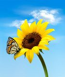 Background with sunflower field over cloudy blue sky. Vector  Motyle Fototapeta