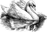 white swan  Drawn Sketch Fototapeta