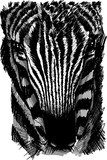 Sketch of a zebra head  Drawn Sketch Fototapeta