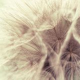 Abstract closeup of a meadow salsify  Dmuchawce Fototapeta