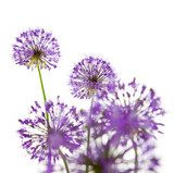 Beautiful Allium Fliwers / abstract  on white  Dmuchawce Fototapeta