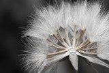 Close-up of dandelion seed  Dmuchawce Fototapeta