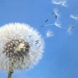 dandelion blowball and flying seeds  Dmuchawce Fototapeta