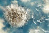 Dandelion Loosing Seeds in the Wind  Dmuchawce Fototapeta