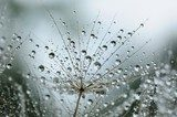 dandelion seeds with drops  Dmuchawce Fototapeta