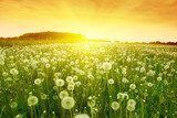 Dandelions in meadow during sunset.  Dmuchawce Fototapeta