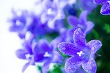 Abstract spring background with purple flowers  campanula or bel  Kwiaty Fototapeta