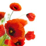 floral design, decoration flowers, poppies border - corner Fototapety Maki Fototapeta