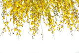 yellow Oncidium orchid bunch on white background  Kwiaty Fototapeta