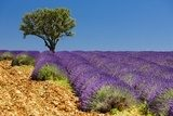 lavender field with a tree, Provence, France Salon Plakat