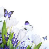 White tulips with blue grass and  butterfly. Floral background.  Kwiaty Fototapeta
