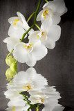 White orchid on the grey background. Kwiaty Fototapeta