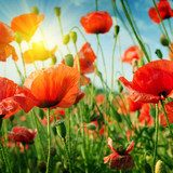 poppies field in rays sun Maki Fototapeta
