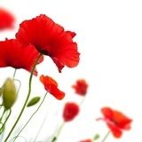poppies isolated on white background- border angle of page Maki Fototapeta