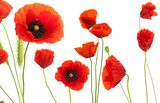 red poppies over white background - floral design element Fototapety Maki Fototapeta