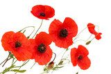 red poppy flowers isolated on white background Fototapety Maki Fototapeta