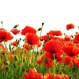 red poppy isolated on white background Fototapety Maki Fototapeta