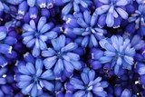 Muscari - hyacinth close-up  Kwiaty Fototapeta