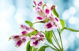 Alstroemeria flowers on bright background  Kwiaty Fototapeta