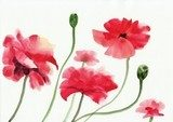 Watercolor painting of red poppies Maki Fototapeta