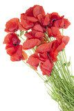 wild field  poppies bouquet Maki Fototapeta