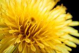 Yellow dandelion flower on black, shallow depth of field.  Dmuchawce Fototapeta