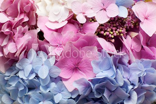 Beautiful hydrangea background  Salon Plakat