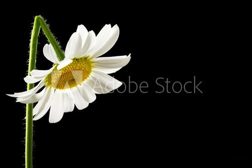 Beautiful fresh white summer daisy  Salon Plakat
