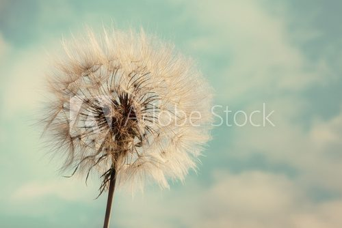 Dandelion Isolated on blue cloudscape  Salon Plakat