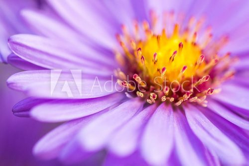closeup violet aster flower background  Kwiaty Plakat