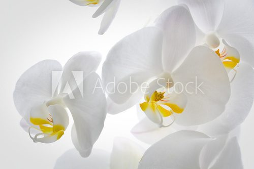 Detail of orchid flowers.  Kwiaty Plakat