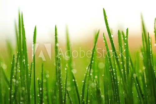 Green wet grass with dew on a blades  Trawy Fototapeta