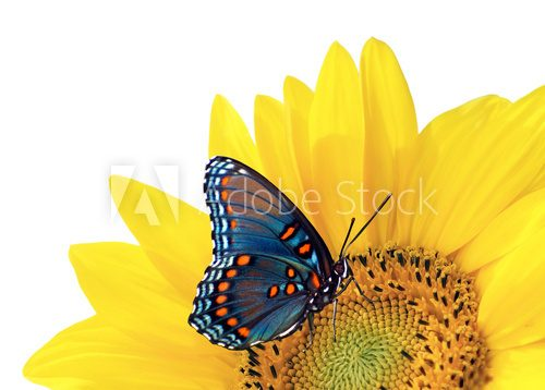 sunflower and blue butterfly  Motyle Fototapeta