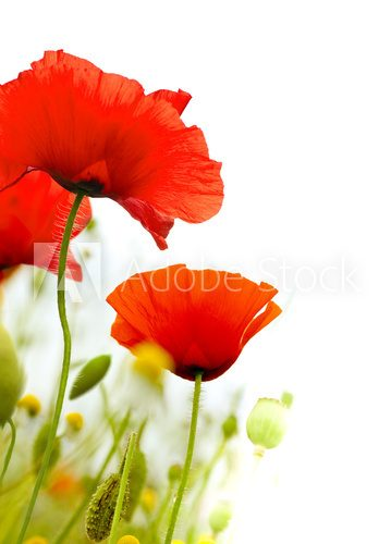art poppies white background, green floral design Maki Fototapeta