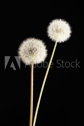 Beautiful dandelions with seeds on black background  Dmuchawce Fototapeta