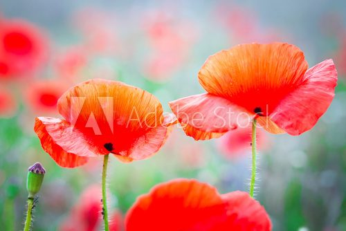 Blossom poppy flowers on the meadow Maki Fototapeta