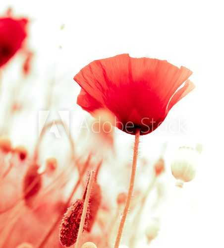 floral design, decoration flowers, red poppies - angle of page Fototapety Maki Fototapeta