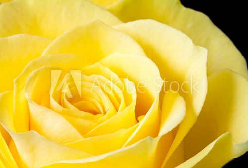 Close up image of yellow rose Kwiaty Fototapeta